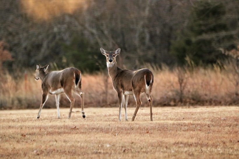 two-white-tail-doe-winter-2 public domain